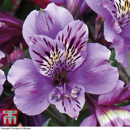 Alstroemeria 'Everest Blue Diamond'