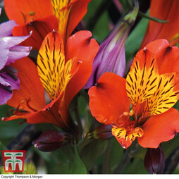 Alstroemeria 'Everest Orange'