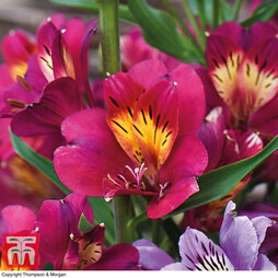 Alstroemeria 'Everest Cherry Red'