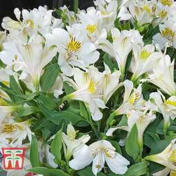 Alstroemeria 'New Tree Everest Clear'
