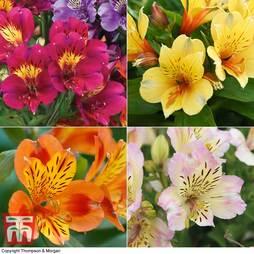 Alstroemeria Nurserymans Choice Mix