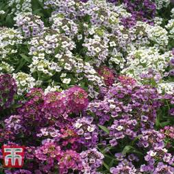 Alyssum 'Alice Golf Mixed'