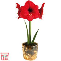 Amaryllis pot with LED lights - Gift