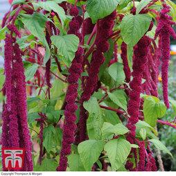 Amaranthus caudatus 'Love Lies Bleeding'