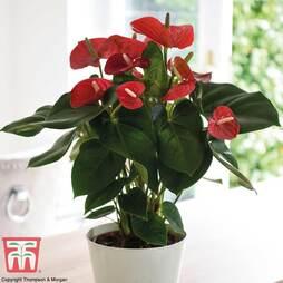Anthurium andreaeanum (House Plant)