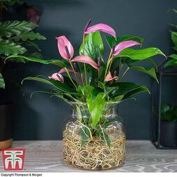 Anthurium Aqua - Gift
