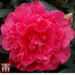 Camellia x williamsii 'Anticipation'