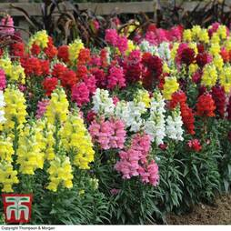 Antirrhinum 'Candy Canes Mixed'