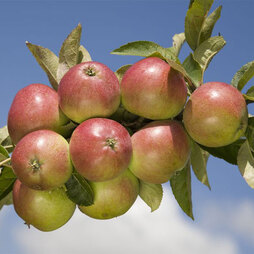 Apple 'Worcester Pearmain'