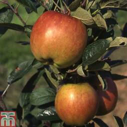 Apple 'Braeburn'