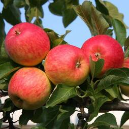 Apple 'Red Falstaff'
