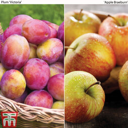 Apple & Plum Duo