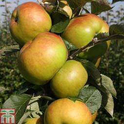 Apple 'Bramley 20' (M27 Rootstock)