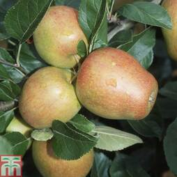 Apple 'Adam's Pearmain' (MM106 Rootstock)