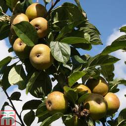 Apple 'Ashmead's Kernel' (M26 Rootstock)