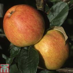 Apple 'Bardsey Island' (MM106 Rootstock)
