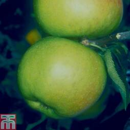 Apple 'Blenheim Orange' (MM106 Rootstock)
