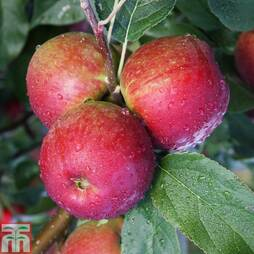 Apple 'Core Blimey' (M9 Rootstock)