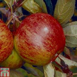 Apple 'Ellison's Orange' (MM106 Rootstock)