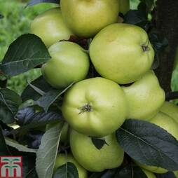 2 x 12 litre potted apple plants (MM106 Rootstock)