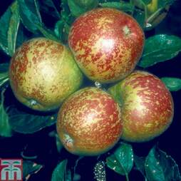 Apple 'Kidd's Orange Red' (MM106 Rootstock)