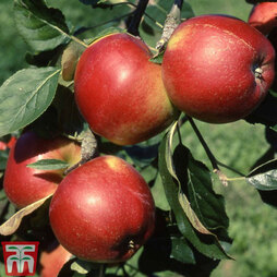 Apple 'Santana' (M27 Rootstock)