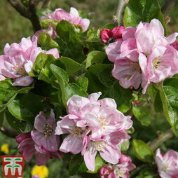 Apple 'Scotch Dumpling' (MM106 Rootstock)