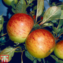 Apple 'Sunset' (MM106 Rootstock)