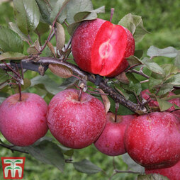 Apple 'Tickled Pink' (MM106 Rootstock)