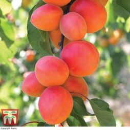 Apricot 'Flavourcot'®