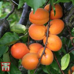 Apricot 'Tomcot'