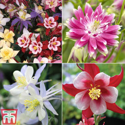 Aquilegia 'T&M Choice'