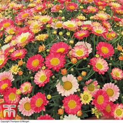 Argyranthemum 'Aramis Apricot' (Aramis Series)