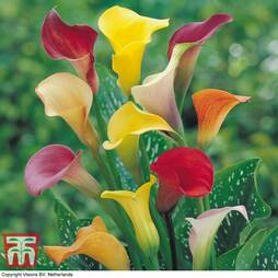 Calla Lily 'Spectrum Mixed'