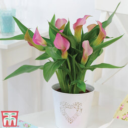 Arum Lily (Pink) (House Plant)