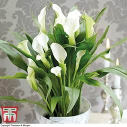 Arum Lily (White) (House Plant)