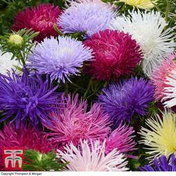 Aster 'Starlight Mixed'
