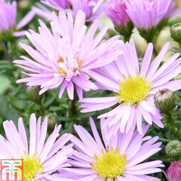 Aster novi-belgii 'Little Pink Beauty'