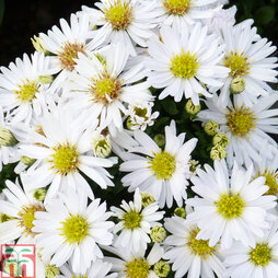Aster novi-belgii 'Snow Cushion'