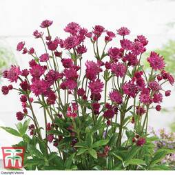 Astrantia major Censation™ 'Milano'