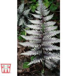Athyrium niponicum var. pictum 'Burgundy Lace'
