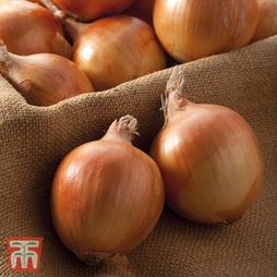 Onion 'Shakespeare' (Autumn Planting)