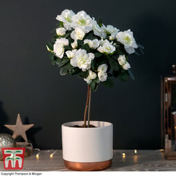 Standard White Azalea in Cream Zinc Pot