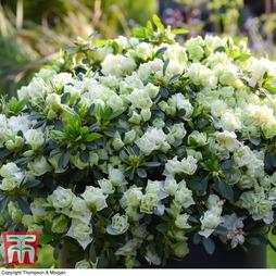 Azalea 'Romantic Lime Green' (House/ Patio Plant)
