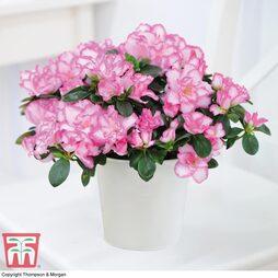 Azalea 'Pink & White Bicolour'
