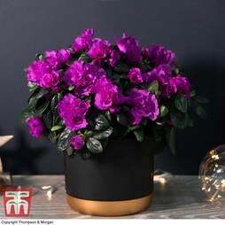 Azalea Purple Rosebud