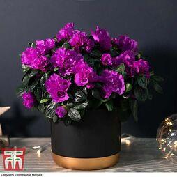 Azalea Purple Rosebud - Gift