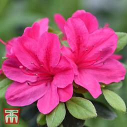 Azalea 'Dwarf Pink'