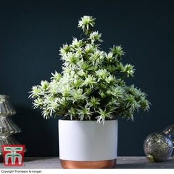 Spider Azalea Magisnow 'Winter Beauty' (House Plant) - Gift