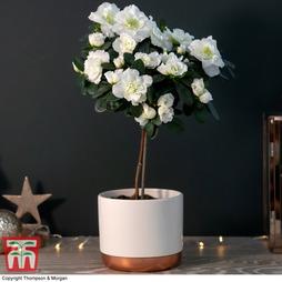 Standard Azalea White - Gift